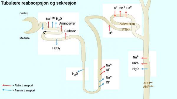 Fig.14 Fig. 14 Tubulær reabsorbsjon og sekresjon *PTH = Paratyreoideahormon, **ADH = Antidiuretisk hormon, ***ANP = Atrielt natriuretisk peptid